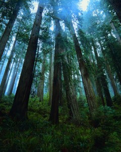 Redwood Trees in Old Growth Forest